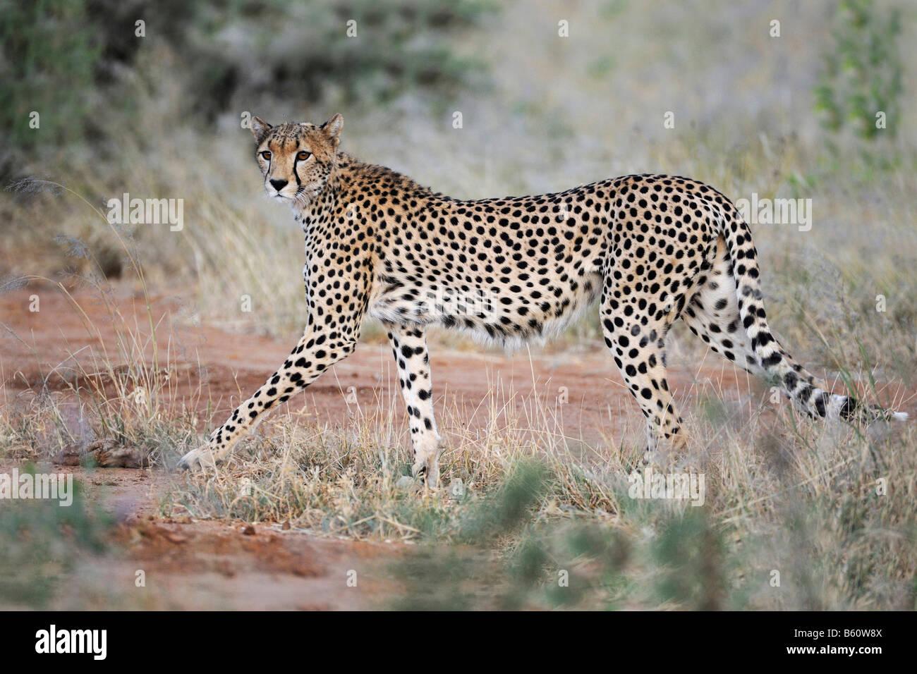 Cheetah (Acinonyx jubatus) at dusk, Samburu National Reserve, Kenya, East Africa, Africa - Stock Image