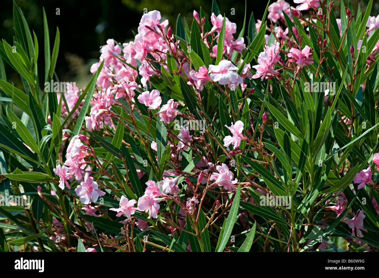 Pink Flower Bush In South France Botanical Beauty Stock Photo