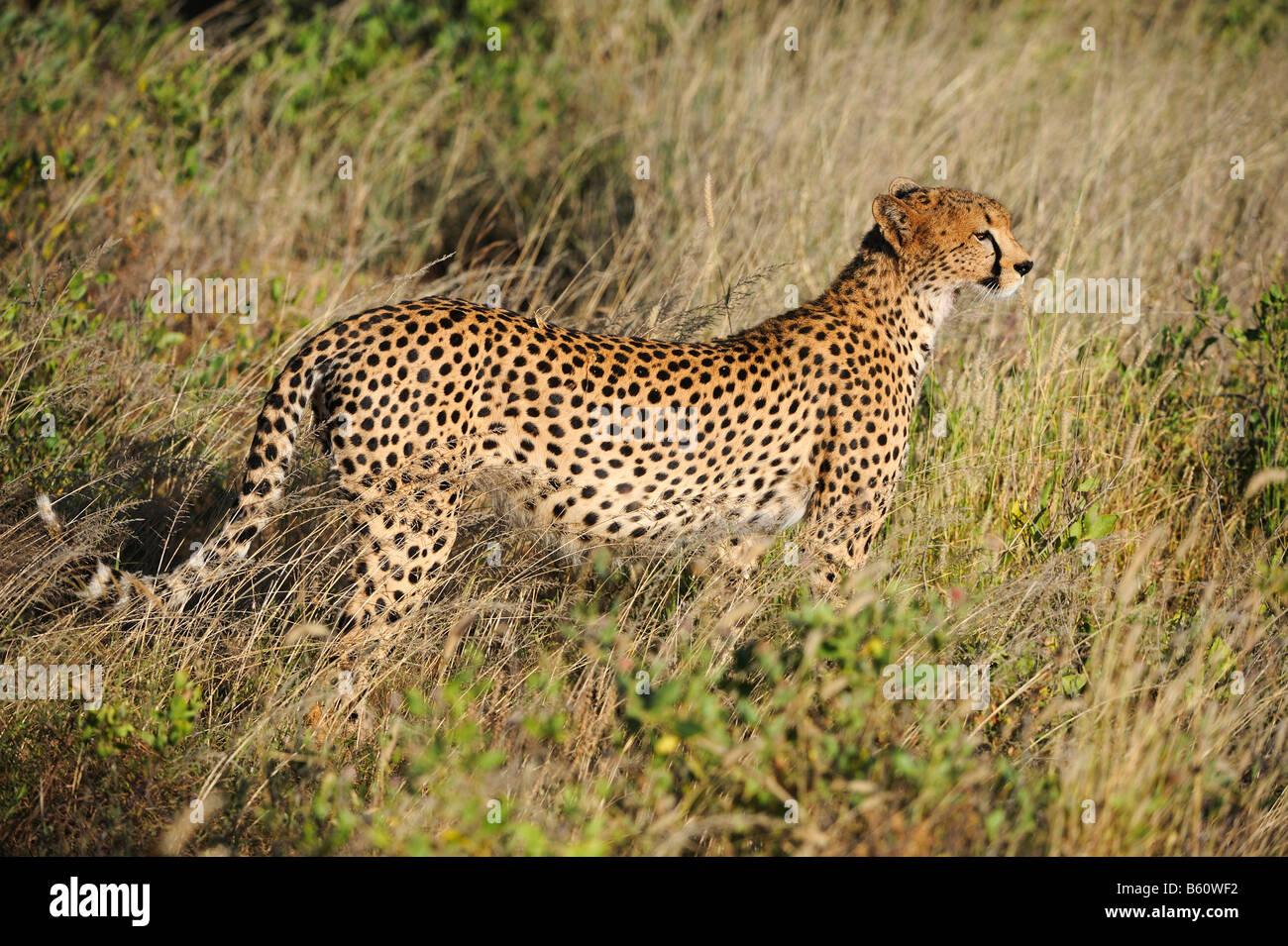 Cheetah (Acinonyx jubatus) at dawn, Samburu National Reserve, Kenya, East Africa, Africa - Stock Image