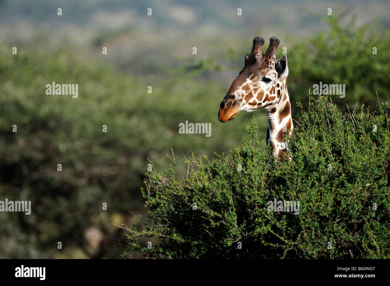 Somali Giraffe or Reticulated Giraffe (Giraffa camelopardalis reticulata), portrait, Samburu National Reserve, Kenya Stock Photo