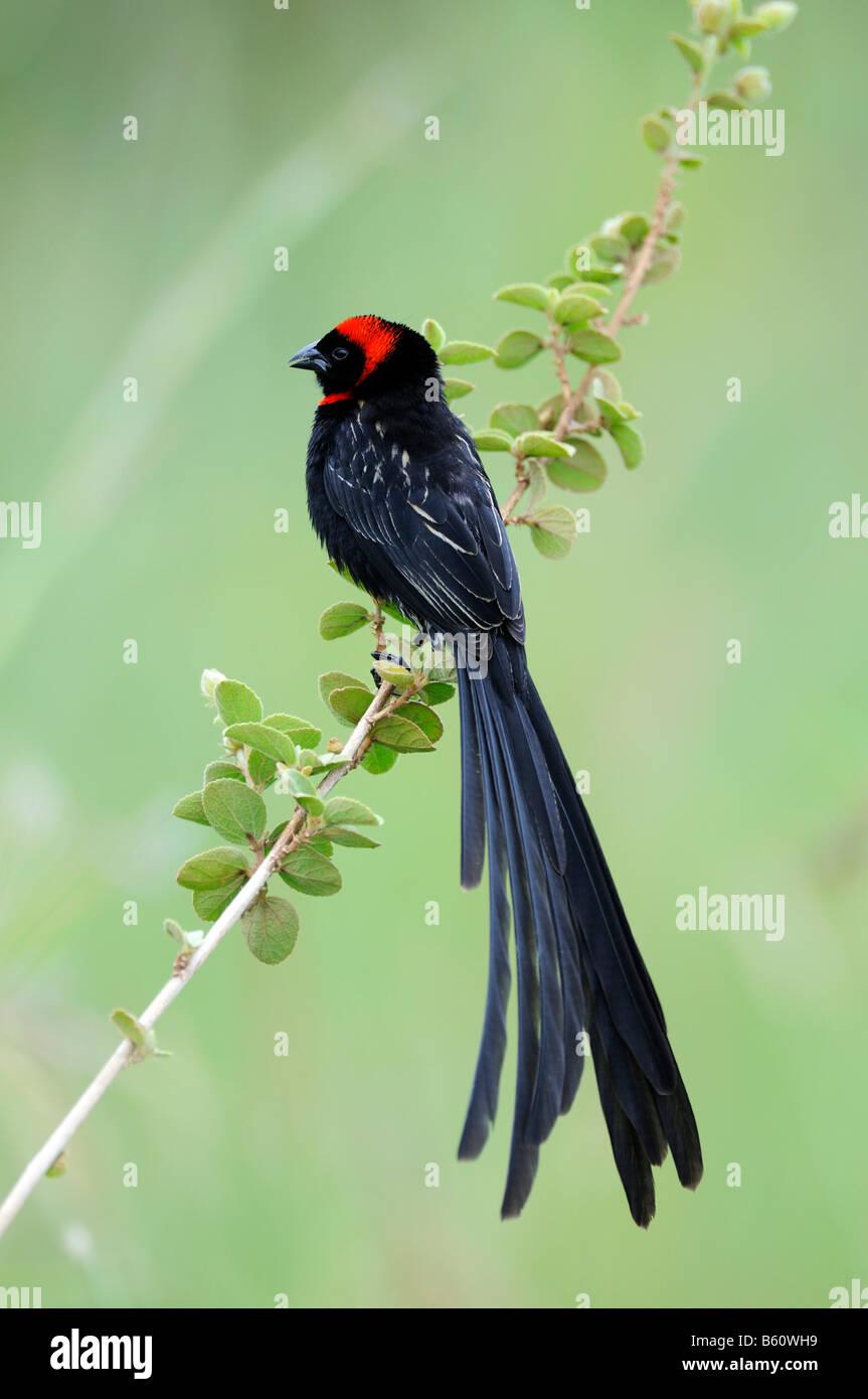 Red-Collared Widowbird (Euplectes ardens) - Stock Image