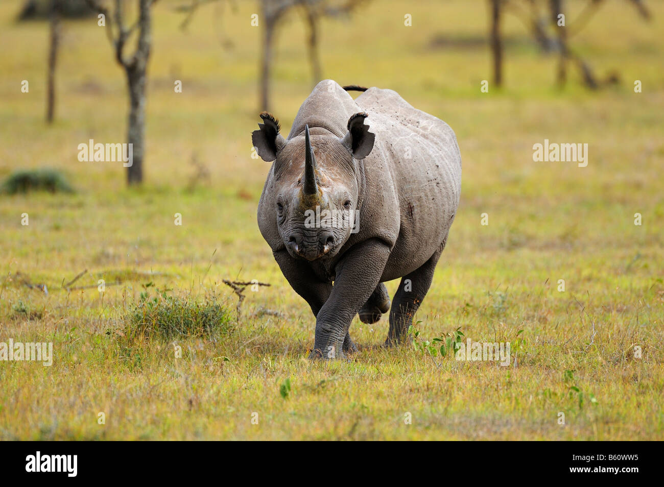 Black Rhinoceros (Diceros bicornis), charging, Sweetwater Game Reserve, Kenya, Africa - Stock Image