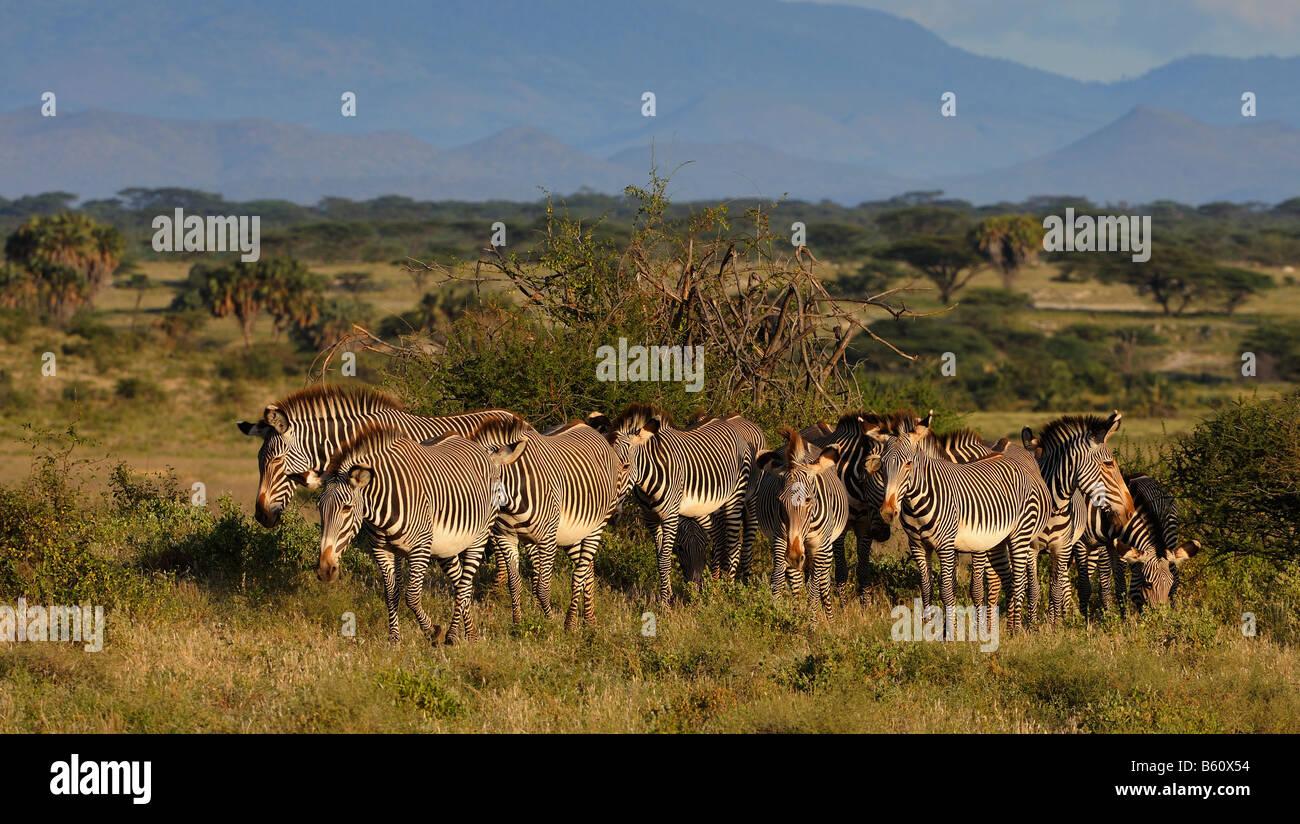 Herd of Grevy's Zebras (Equus grevyi) in the landscape, Samburu National Reserve, Kenya, East Africa, Africa Stock Photo