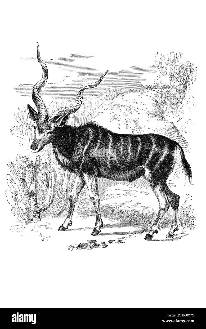 Kudu Strepsiceros kudu Greater Kudu Tragelaphus strepsiceros is a woodland antelope found throughout eastern and Stock Photo