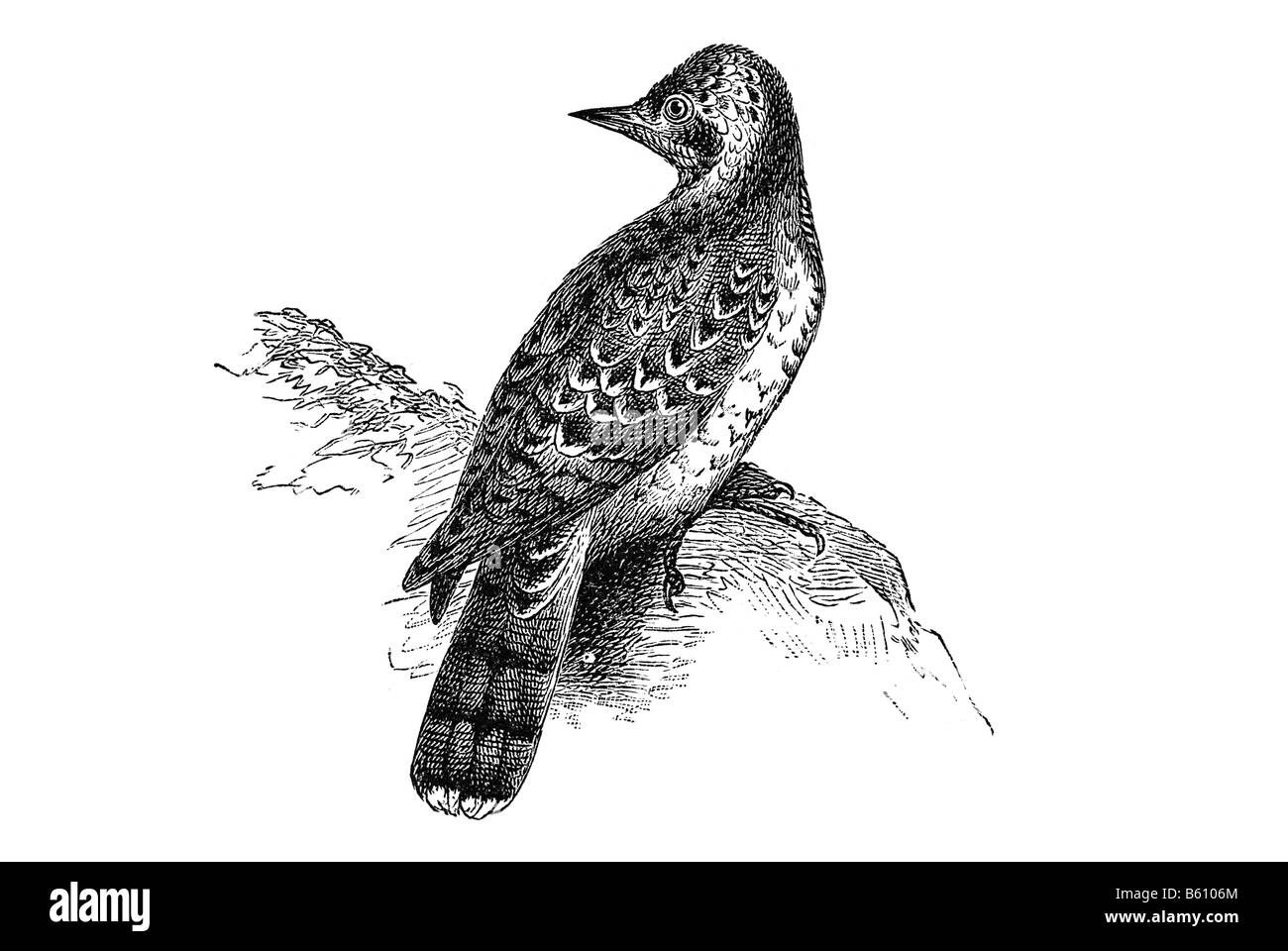 Eurasian Wryneck Jynx torquilla is a species of wryneck in the family of woodpeckers Stock Photo