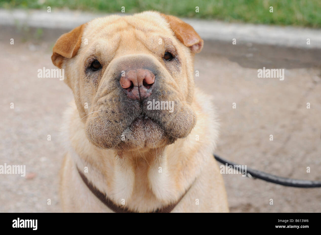 Shar Pei, old Chinese dog breed, put to use in hunting and as a watchdog, Stuttgart, Baden-Wuerttemberg - Stock Image