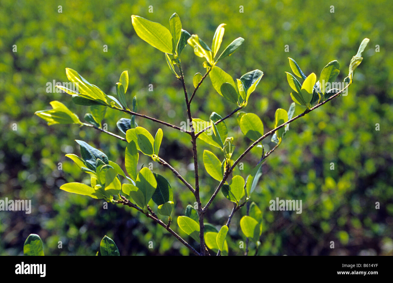 Coca plant  for traditional use. Los Yungas . Bolivia . - Stock Image