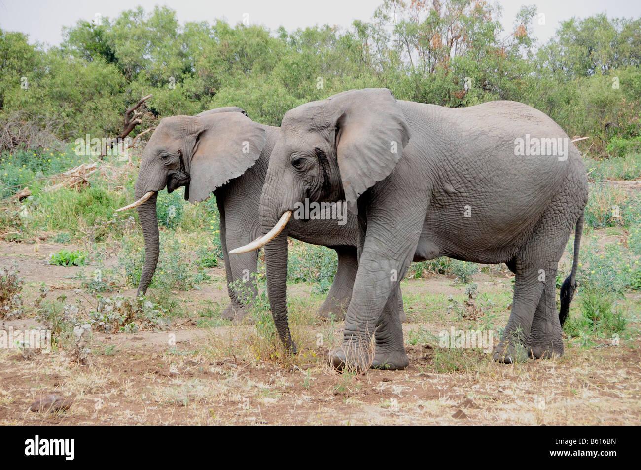 African Bush Elephants (Loxodonta africana), Lake Manyara National Park, Tanzania, Africa - Stock Image