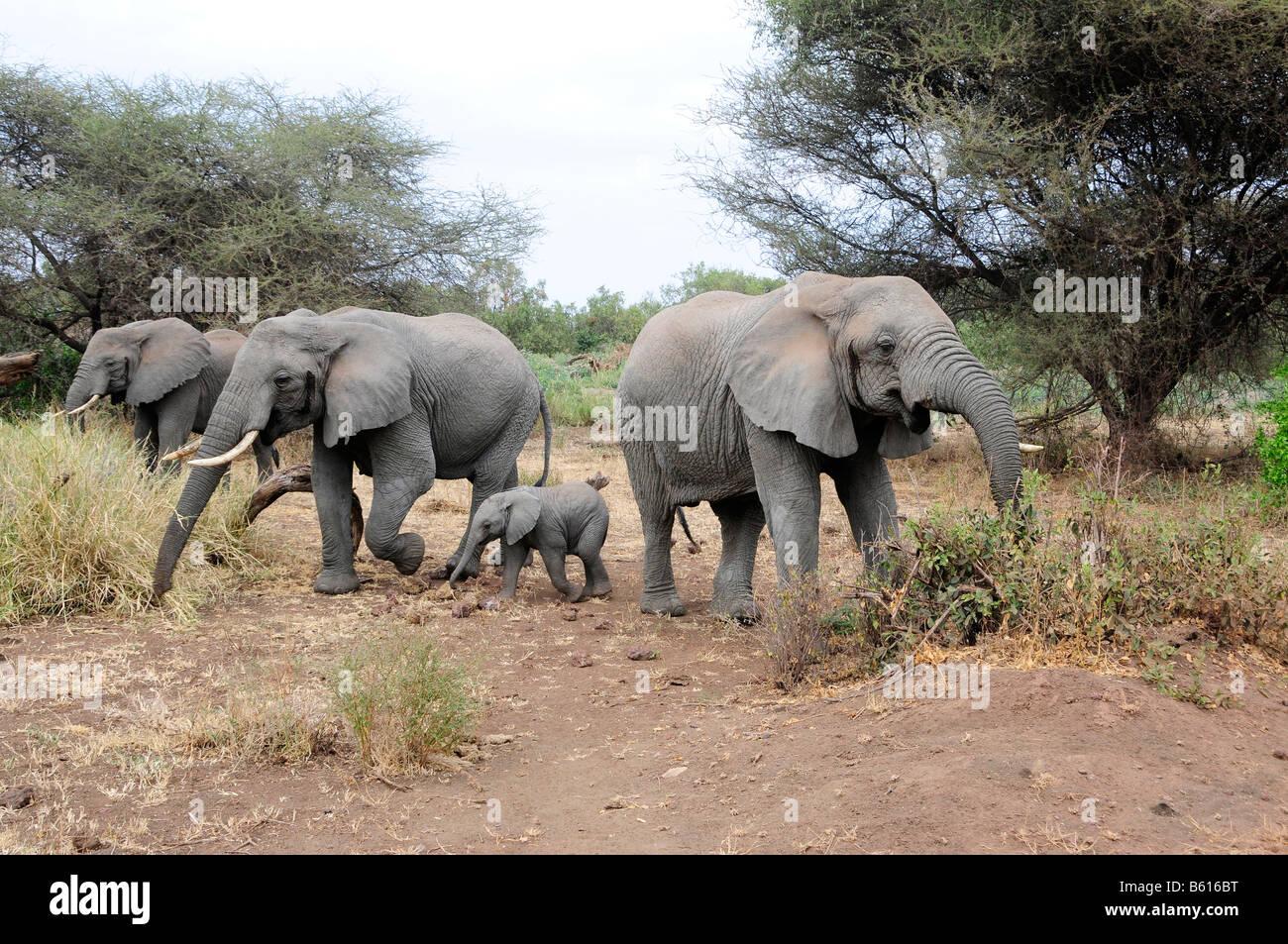 African Bush Elephants with young (Loxodonta africana), Lake Manyara National Park, Tanzania, Africa - Stock Image