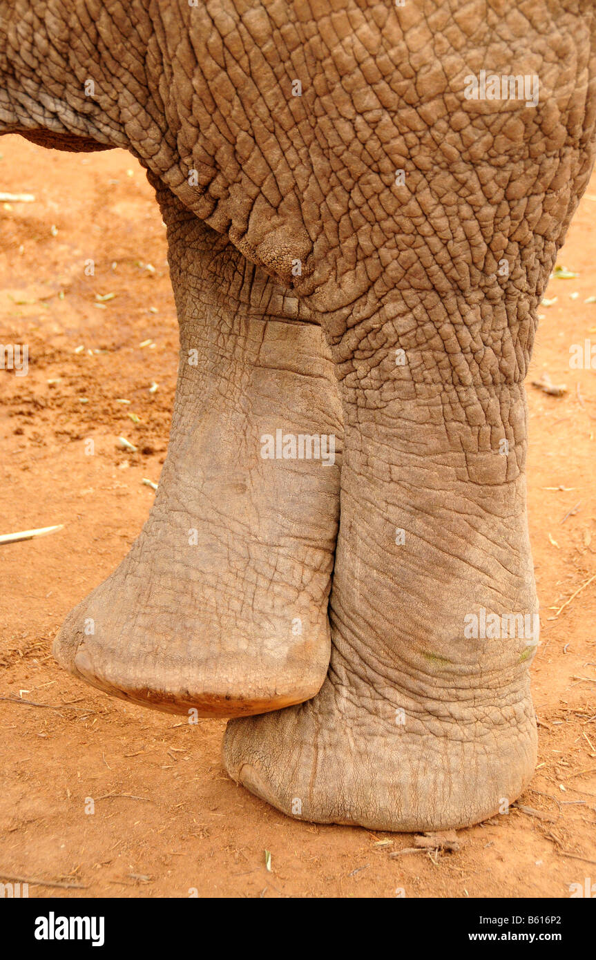 Feet of an African Bush Elephant (Loxodonta africana) in comfortable crossed position, Tsavo East National Park, Stock Photo