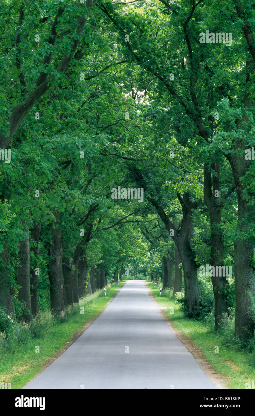 Country lane lined with Oak trees, Mecklenburg-Western Pomerania - Stock Image