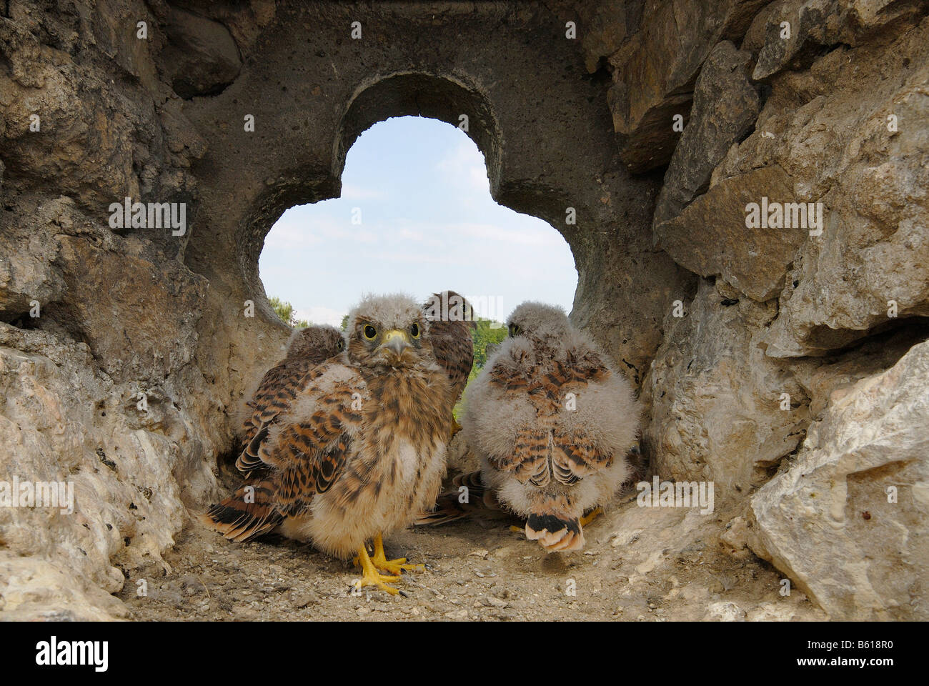 Hatchlings of the European Kestrel (Falco tinnunculus), partially covered in downy feathers, sitting in front of - Stock Image