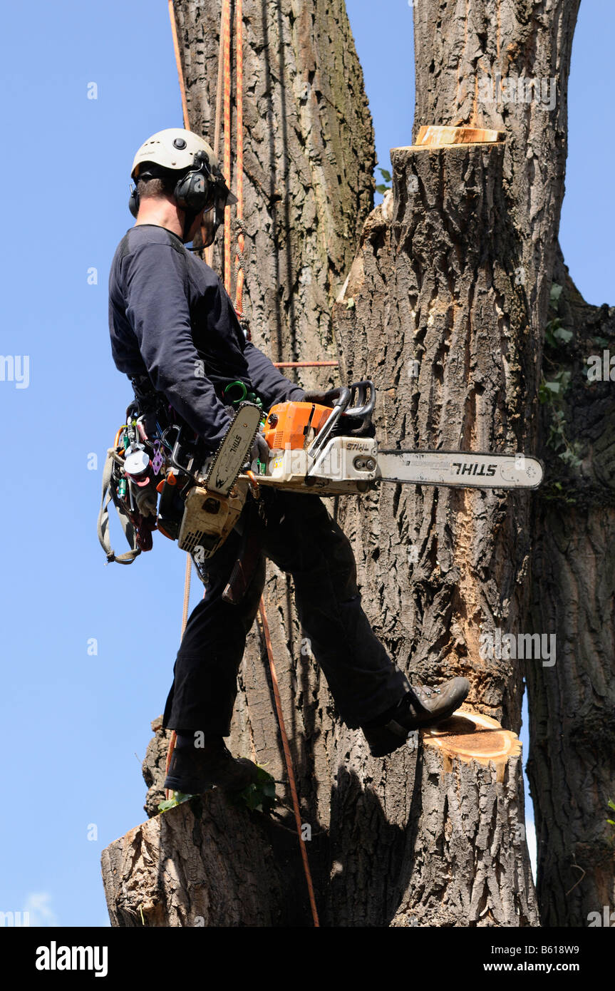 Aborist, secured with ropes, holding a chainsaw, rope climbing technology for the care of large trees - Stock Image