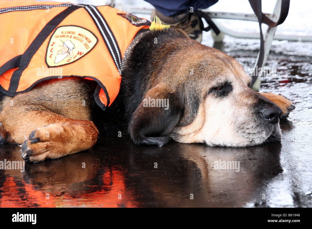 A Illinois and Wisconsin Search and Rescue Bloodhound dog laying down on the wet pavement after it rained - Stock Image