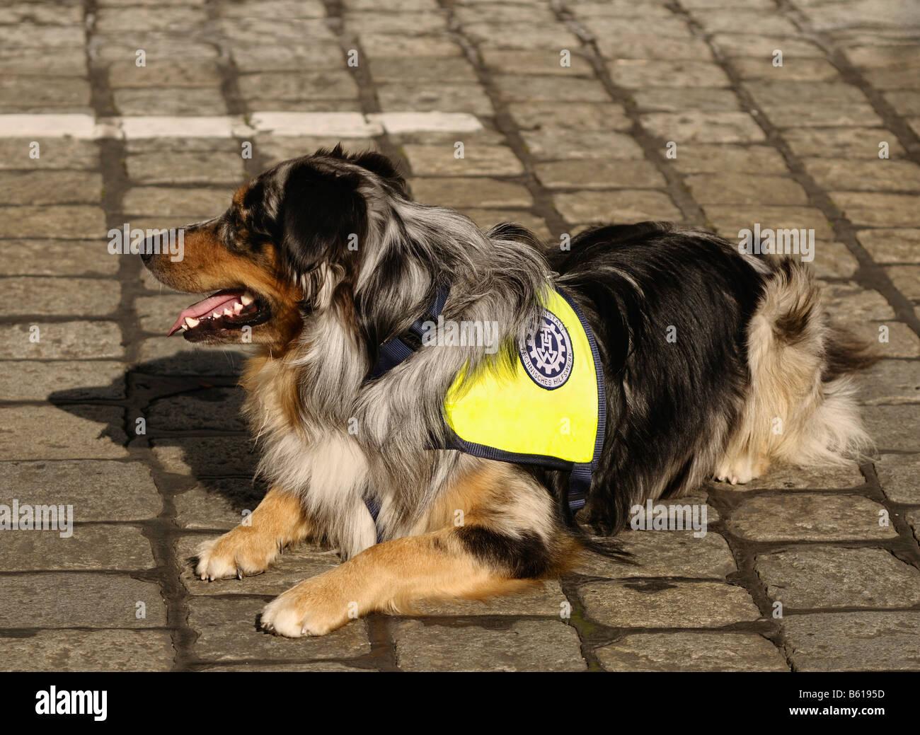 Rescue dog of the technical relief organisation, Technisches Hilfswerk, border collie Stock Photo