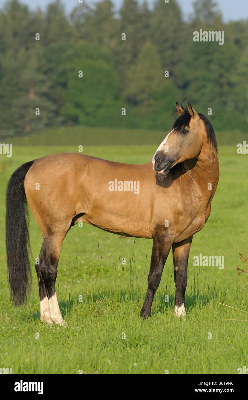 Lusitano horse stallion in the paddock - Stock Image