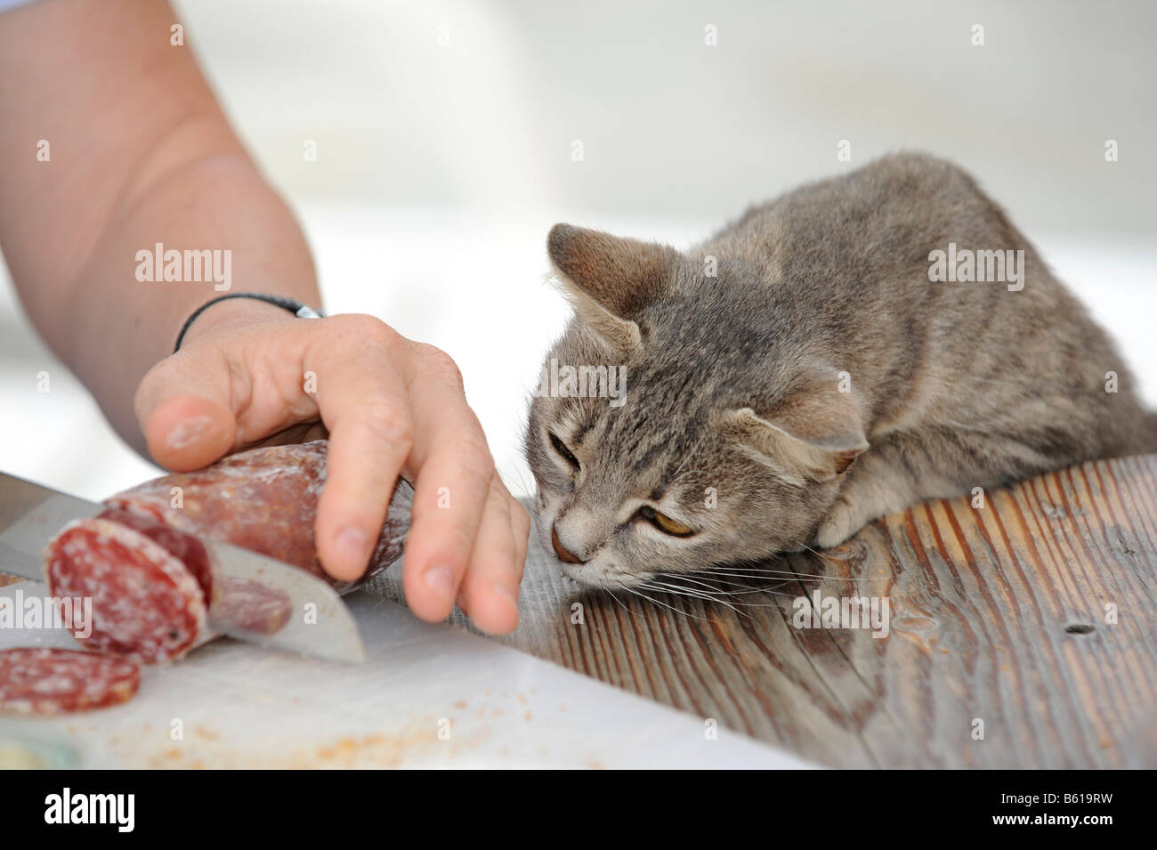 Young grey tabby cat looking on greedily as salami is sliced Stock Photo