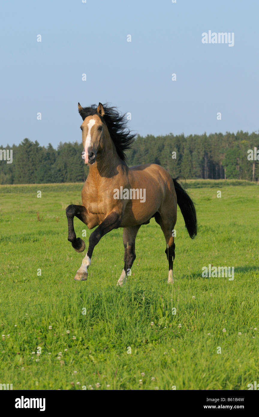 Lusitano horse stallion in the paddock - Stock Image