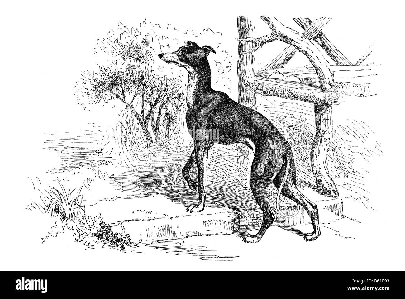 Greyhound Piccolo Levriero small breed of dog of the sight hound type sighthounds Stock Photo