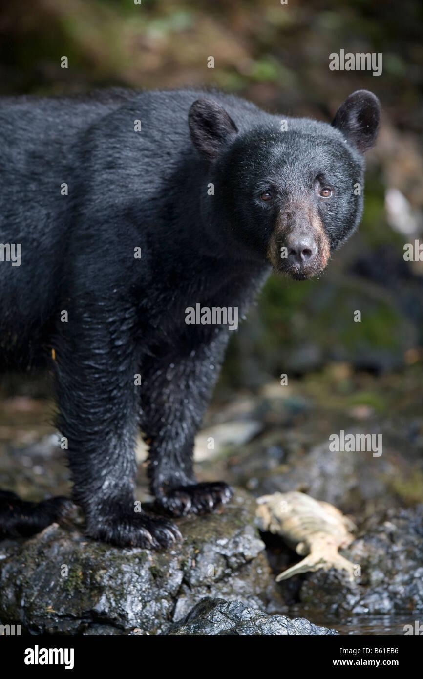 USA Alaska Kake Black Bear Ursus americanus hunting for spawning Chum Salmon along Gunnuk Creek in early summer - Stock Image