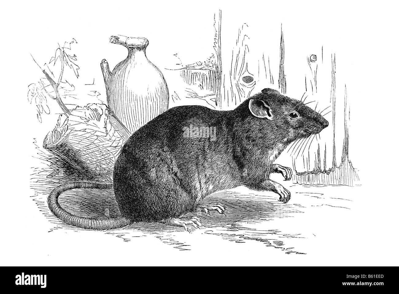 brown rat, common rat, Hanover rat, Norway rat, Norwegian rat, or wharf rat Stock Photo