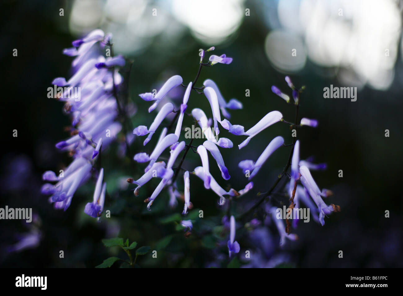Bluebell flowers inside the Temperate House in Kew Gardens London England UK - Stock Image
