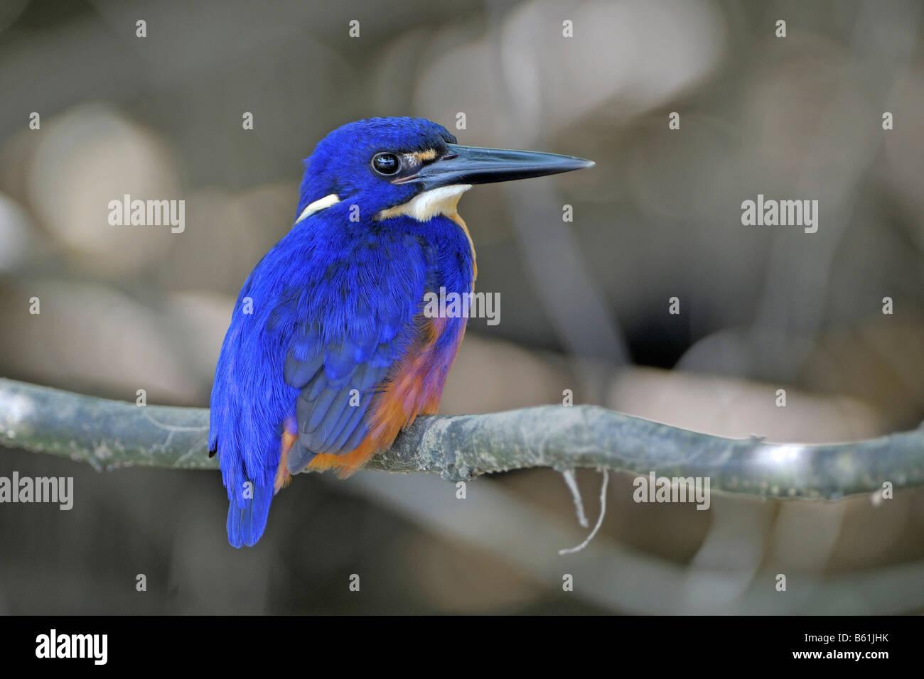 Azure Kingfisher (Alcedo azurea), very rare bird, Queensland, Australia - Stock Image