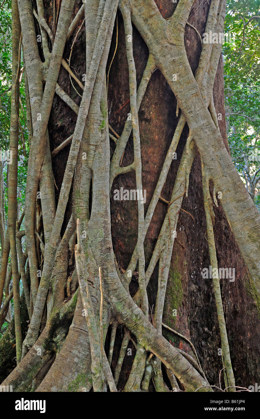 Moreton Bay Fig wrapped around an ancient forest giant in Lamington National Park, Australia Stock Photo