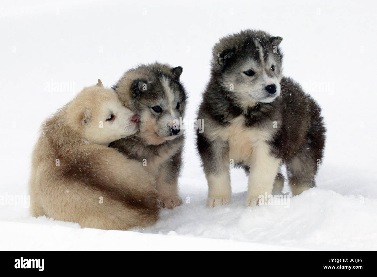 Husky (Canis lupus familiaris), puppies in snow - Stock Image