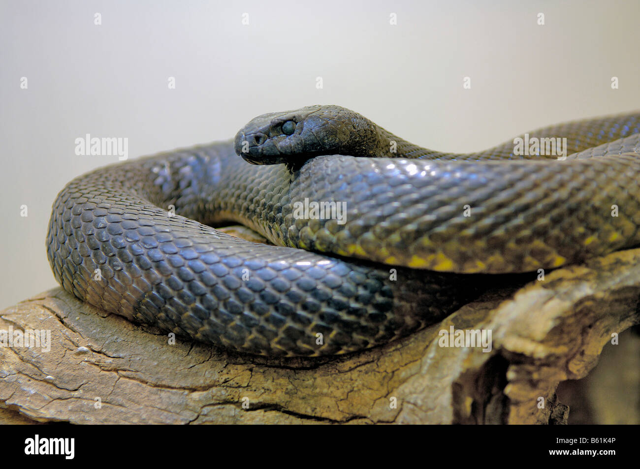 Inland Taipan, Small Scaled Snake, Fierce Snake (Oxyuranus microlepidotus), the most poisonous snake in the world - Stock Image