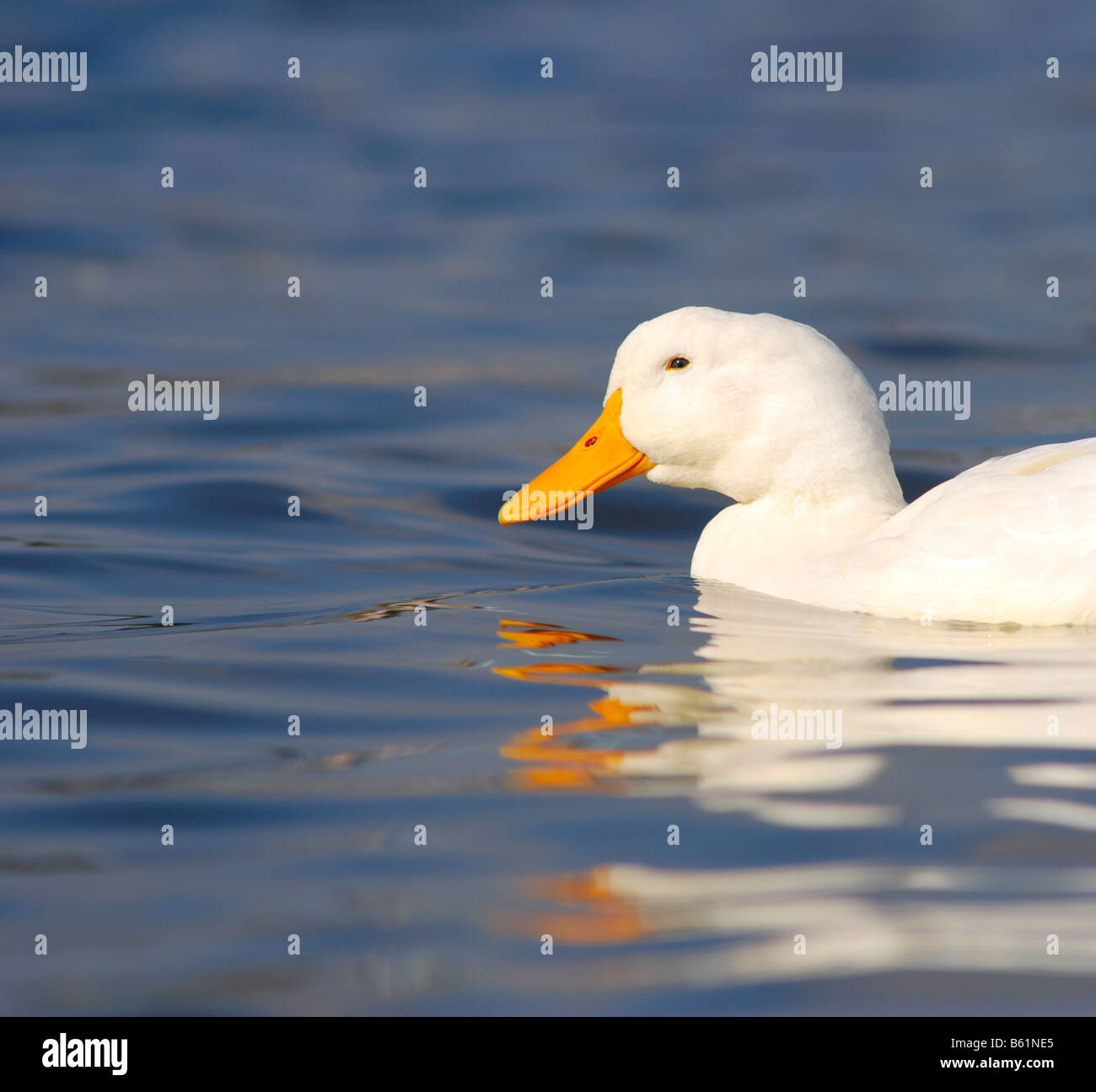 Beautiful white duck on choppy clear blue water - Stock Image