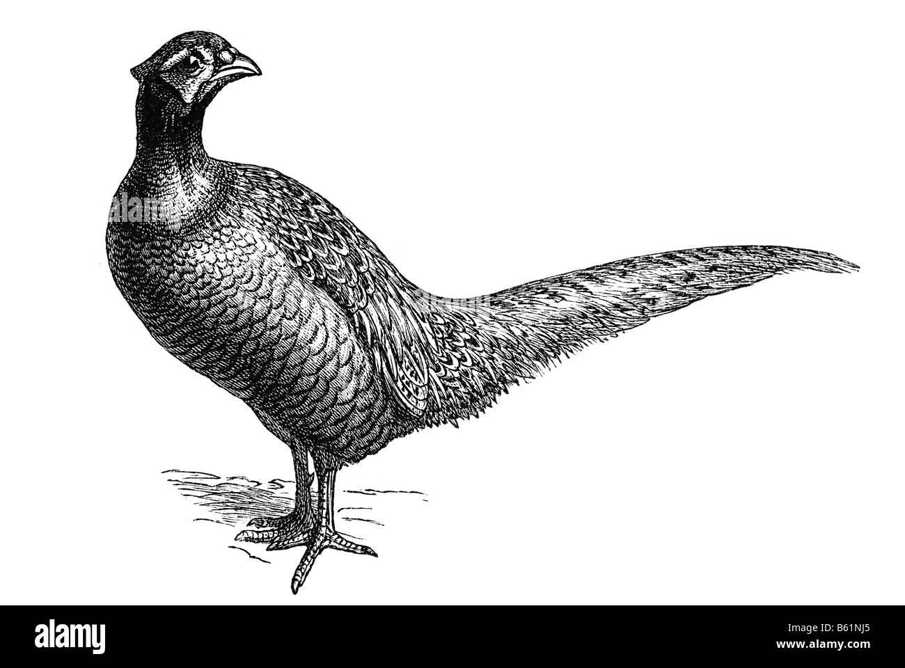 Common Pheasant (Phasianus colchicus) - Stock Image