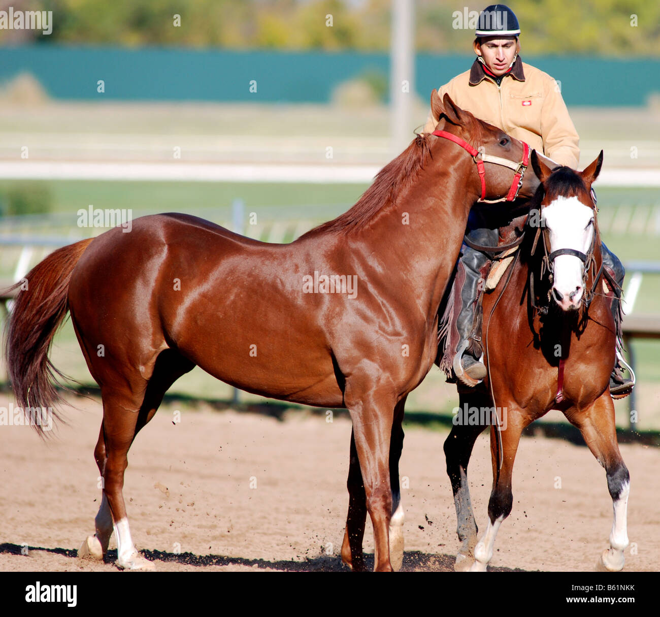 trainer working out a two year old horse at a race track - Stock Image