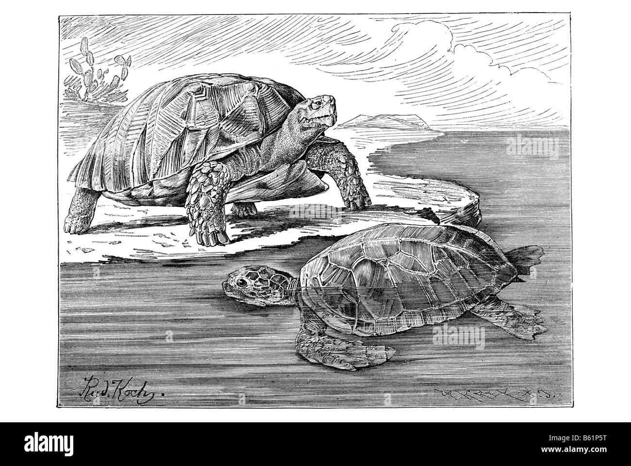 turtles, Tortoises or land turtles Stock Photo