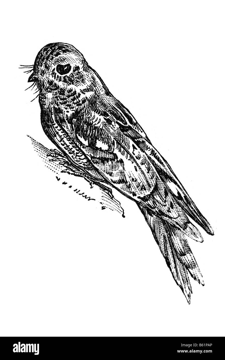 European Nightjar, or just Nightjar (Caprimulgus europaeus) Stock Photo