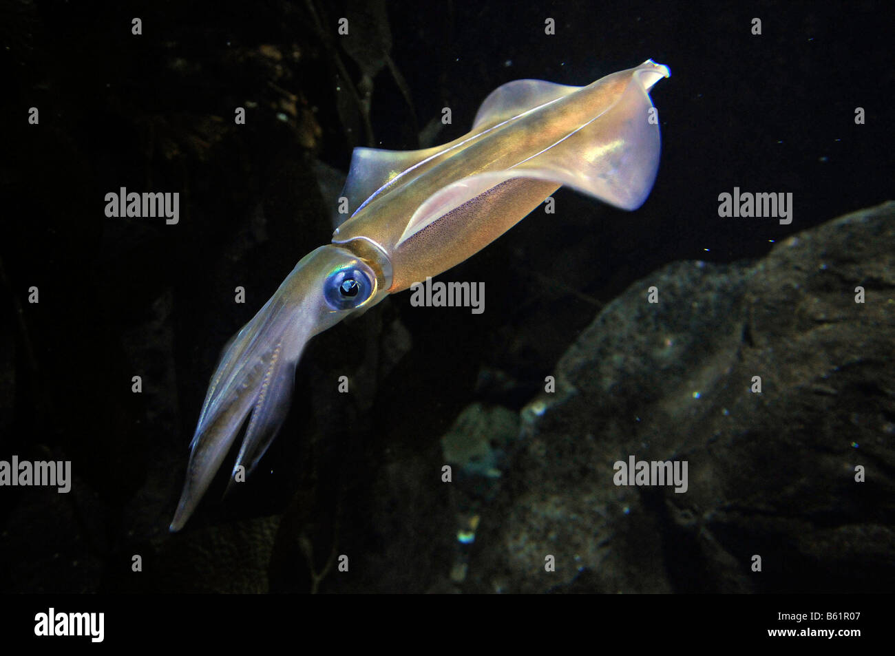Southern Calamari Squid (Sepioteuthis australis) - Stock Image
