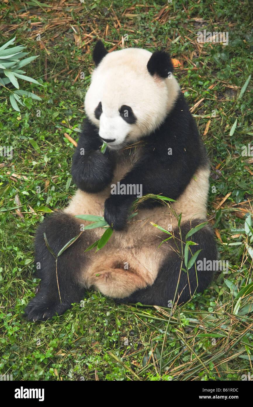 Giant Panda at Chengdu Research Center China - Stock Image