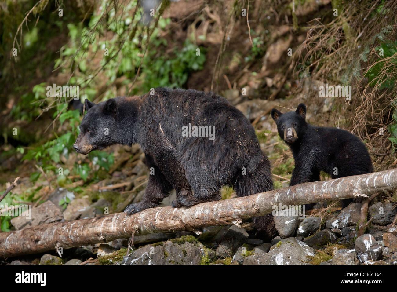 USA Alaska Kake Black Bear sow and cub Ursus americanus walking along banks of Gunnuk Creek hunting for spawning - Stock Image