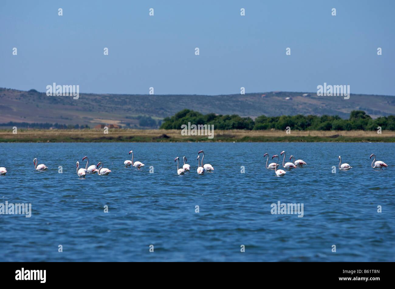 Flamingoes in the Lagune di Mistras, Sinis peninsula, Sardinia, Italy, Europe - Stock Image