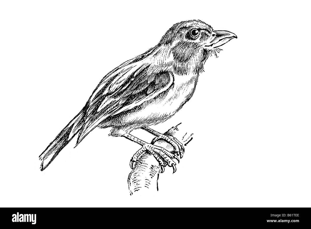 Broadbill (Eurylaemus javanicus), broadbills Stock Photo
