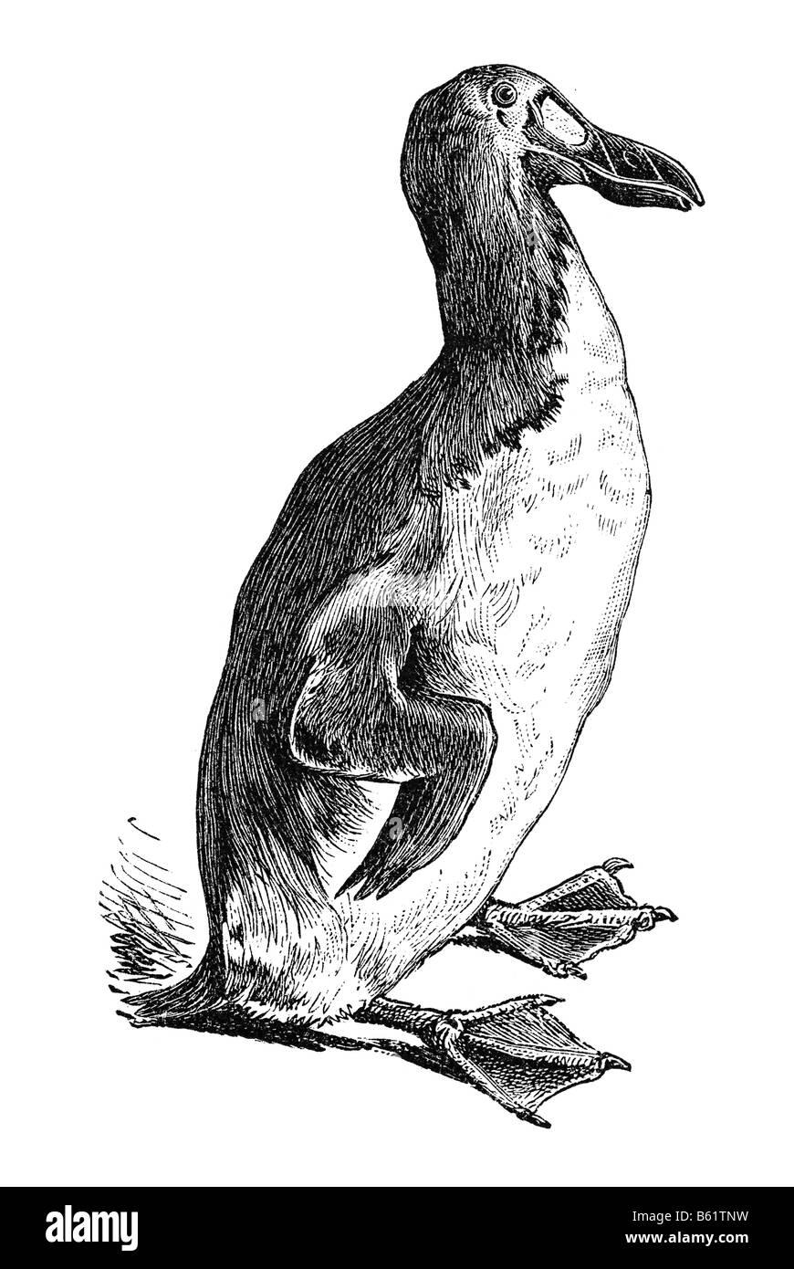 Great Auk (Plautus impennis, Pinguinus impennis), garefowl, penguin Stock Photo