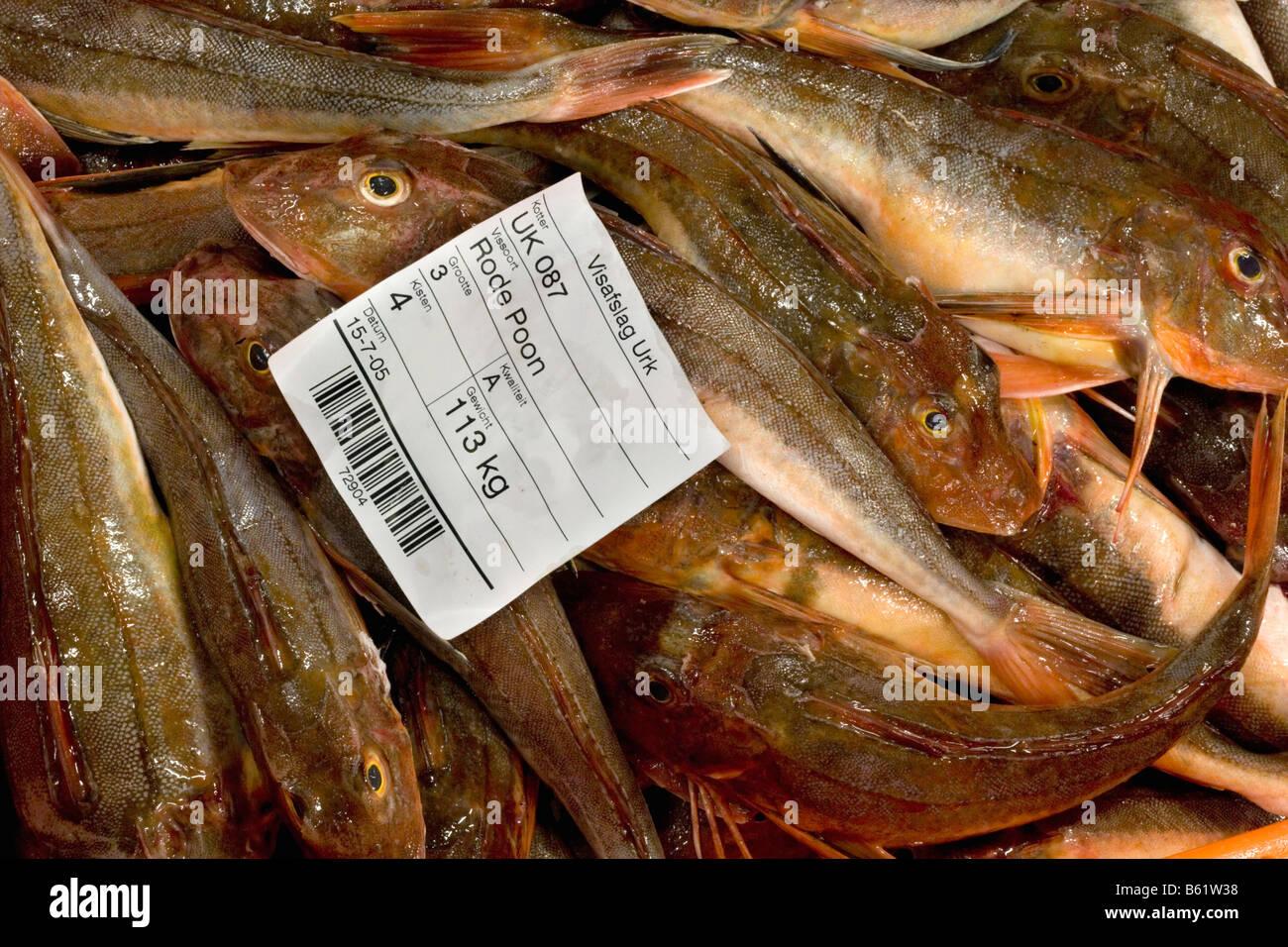 Holland Flevo Urk Fish auction Sapphirine gurnard - Stock Image