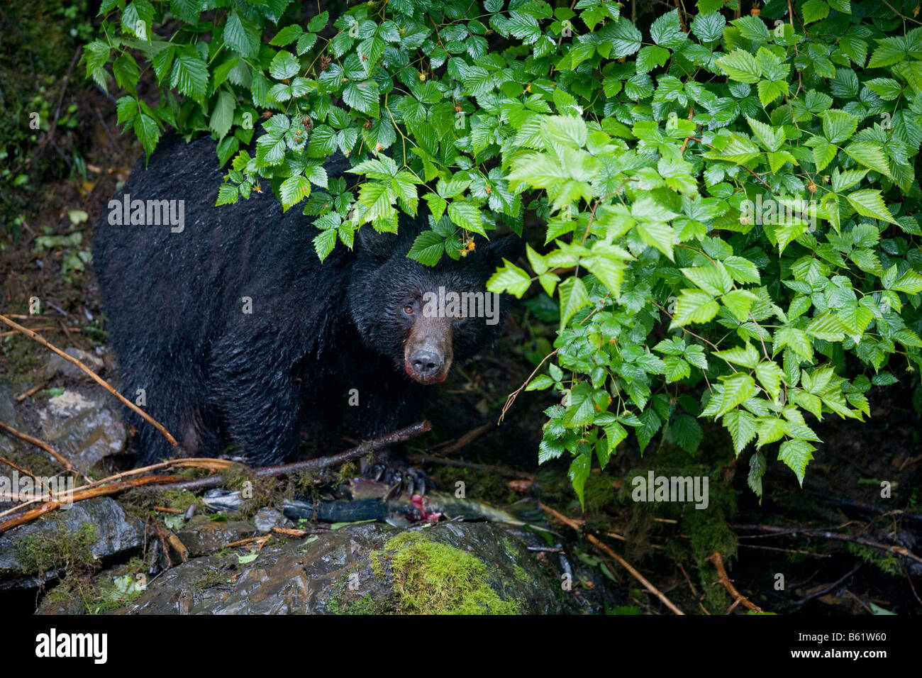 USA Alaska Kake Black Bear Ursus americanus feeding on Chum Salmon along Gunnuk Creek in early summer rain - Stock Image