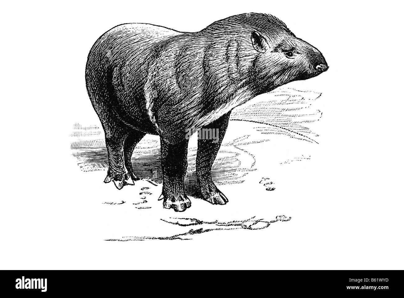 Tapir (Tapirus abericanus) Stock Photo