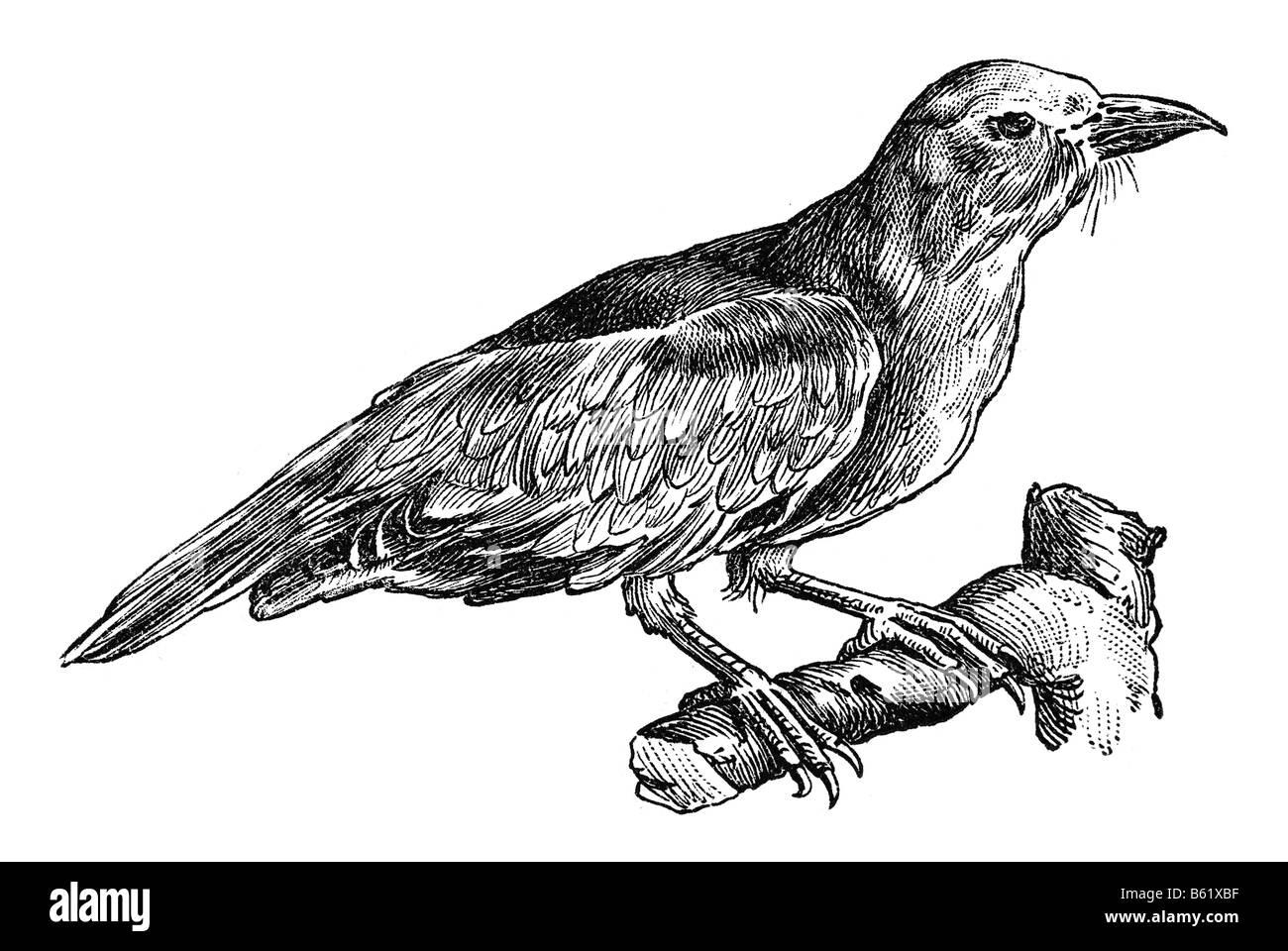European Roller (Coracias garrulus) - Stock Image
