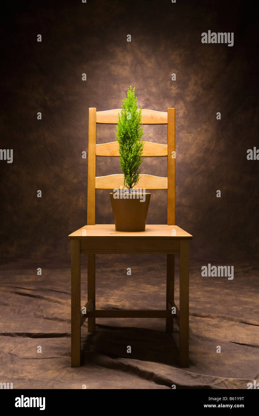 A small green tree in a pot on a wooden chair - Stock Image