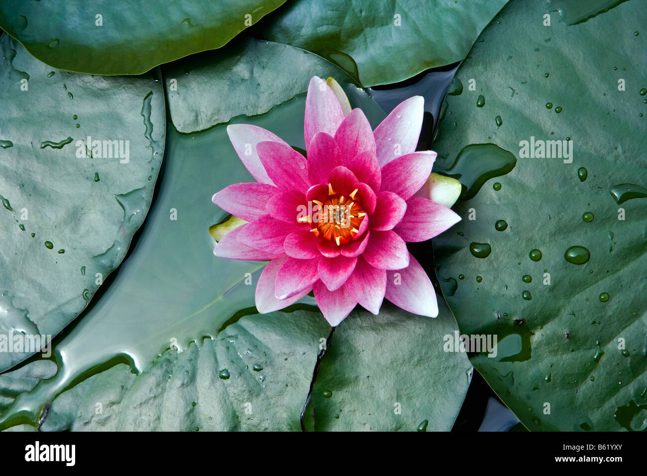 Netherlands Noord Holland Graveland Water lily - Stock Image