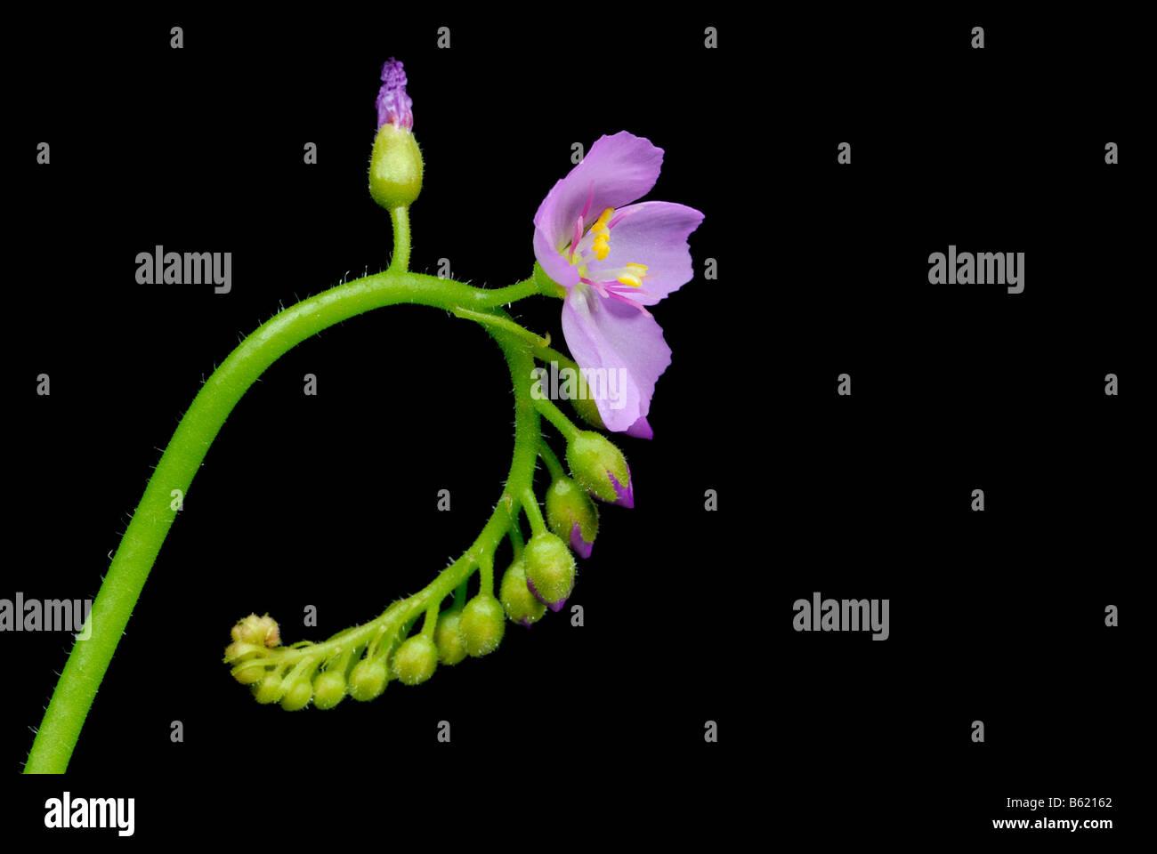 Sundew blossom (Drosera capensis) - Stock Image