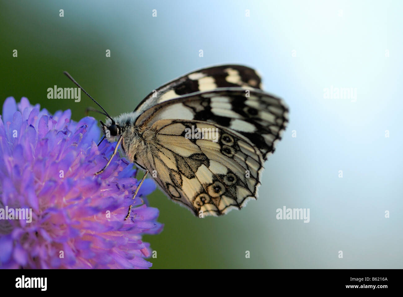 Marbled White Butterfly (Melanargia galathea) resting on a flower - Stock Image