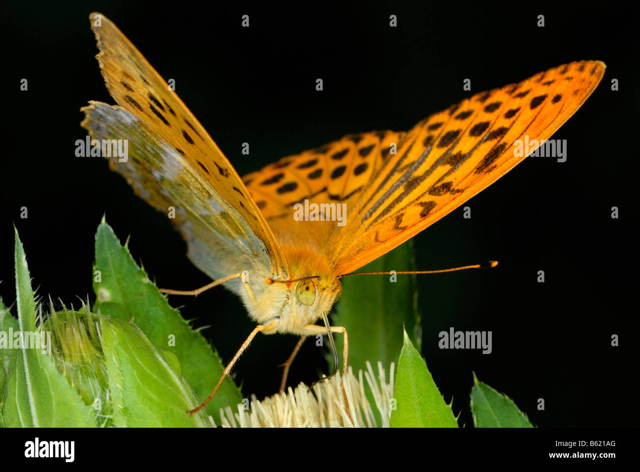 Silver-washed Fritillary (Argynnis paphia) on a blossom - Stock Image